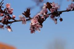 Oben geschlossen von der Kirschbl?te im japanischen Park lizenzfreie stockbilder