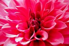 Oben geschlossen von der rosa Dahlienblume Lizenzfreies Stockfoto