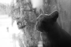 Oben geschlossen von der traurigen französischen Bulldogge im zurückhaltenden Ton, der auf einiges wartet Stockbild