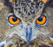 Oben geschlossen von Eagle Owl Stockfotos