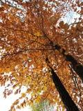 Oben herein schauen zu bunten Autumn Tree lizenzfreie stockbilder