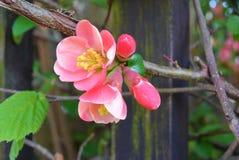 Oben im Frühjahr geschlossen von der rosa Blüte am Tag der Niederlassung Lizenzfreie Stockbilder