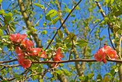 Oben im Frühjahr geschlossen von der rosa Blüte am Tag der Niederlassung Lizenzfreie Stockfotos