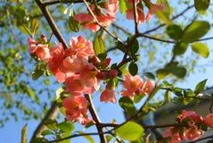 Oben im Frühjahr geschlossen von der rosa Blüte am Tag der Niederlassung Stockbilder