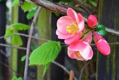 Oben im Frühjahr geschlossen von der rosa Blüte am Tag der Niederlassung Stockfoto
