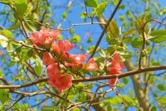 Oben im Frühjahr geschlossen von der rosa Blüte am Tag der Niederlassung Stockfotografie