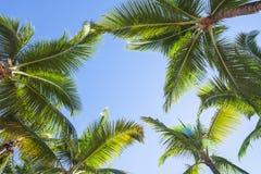 Oben schauen auf KokosnussPalmen über Hintergrund des blauen Himmels Lizenzfreies Stockbild