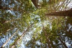 Oben schauen in die Überdachung von hohen Bäumen des Waldes Stockfotos