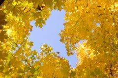 Oben schauen in die hellen gelben Blätter der goldenen Ahornblätter und des blauen Himmels des Herbstes Lizenzfreie Stockbilder