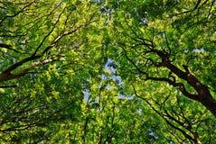 Oben schauen durch die Bäume Stockfoto