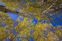 Oben schauen durch goldene Espen im Fall lizenzfreie stockfotos