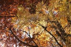 Oben schauen durch Herbstlaub Lizenzfreie Stockbilder