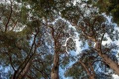 Oben schauen in eine immergrüne Baum-Überdachung lizenzfreies stockbild