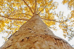 Oben schauen in einem Baumwald im Herbst Lizenzfreie Stockfotos
