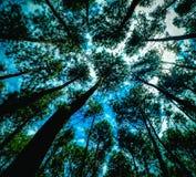Oben schauen im Kiefernwald stockfotografie