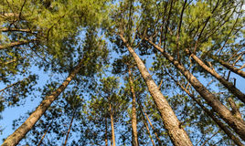 Oben schauen in Treetops des Kiefernwaldes Stockfotografie