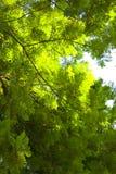 Oben schauen von unterhalb des Baums Lizenzfreie Stockfotos