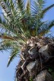 Oben schauen zu einer Palme lizenzfreies stockfoto