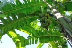 Oben schauen zur Bananenstaude stockfoto