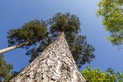 Oben schauen zur Spitze eines hohen Baums stockfotos