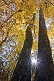Oben schauen zwischen zwei hohen majestätischen Bäumen mit hellen gelben Blättern Lizenzfreies Stockbild