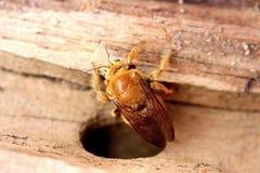 oben verlieren von einem männlichen Tal-Tischler Bee stockfotografie