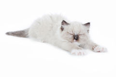 Oben wakening und ausdehnendes Ragdoll-Kätzchen Lizenzfreie Stockfotos