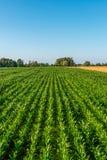 Obenliegende Ansicht von oben genanntem auf einem Feld des jungen Mais Stockbilder