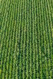 Obenliegende Ansicht von oben genanntem auf einem Feld des jungen Mais Stockfotos