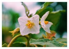 Oberżyna kwiat Fotografia Stock