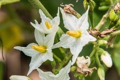 Oberżyna kwiat w ogródzie Zdjęcia Royalty Free