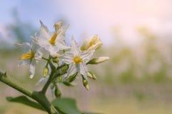 Oberżyna kwiaty Fotografia Stock