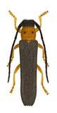 Oberea oculata Stock Images