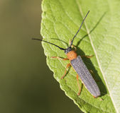 Oberea oculata. Hanging out at leaf Stock Images