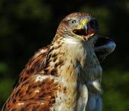 Oberer Körper des Falken lizenzfreie stockbilder