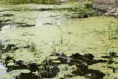 Oberfläche der Flussentengrütze Stockfotos