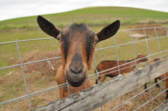 Oberhasli Goat Coming Through Fence Royalty Free Stock Photography