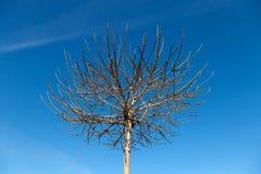 Oberleder verzweigt sich Baum Stockbild
