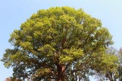 Oberseite des Baums Lizenzfreie Stockfotografie