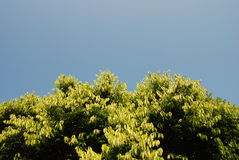 Oberster blauer Himmel des Baums Lizenzfreies Stockfoto