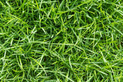 Oberstes frisches grünes Gras mit Wassertröpfchen auf Sonnenschein Lizenzfreies Stockfoto