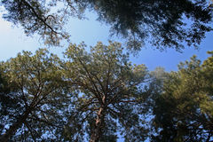 Oberteile Bäume gegen den blauen Himmel Stockfotos