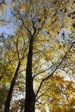 Oberteile Bäume mit gelben Blättern in der Herbstsaison Lizenzfreie Stockfotografie