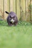 Obese cat focus Stock Image