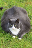 Obese cuteness. Beautiful obese cat spread out on the grass in the garden, tired and hungry after a workout Royalty Free Stock Image