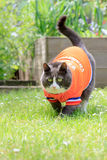 Obese exercise. Random image of a fat cat dressed as soccer player for the dutch national team exercising in the garden in spring in the Netherlands royalty free stock photography