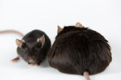 Obese and healty lean mice. Obese mouse fed with junk food vs healthy lean mouse, for scientific research Royalty Free Stock Photography