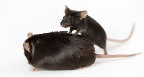 Obese and healty lean mice. Obese mouse fed with junk food vs healthy lean mouse, for scientific research Stock Images
