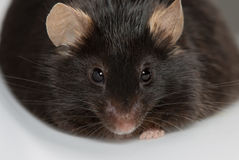 Obese mouse. Fed with junk food, for scientific research Stock Photos