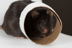 Obese mouse Royalty Free Stock Images